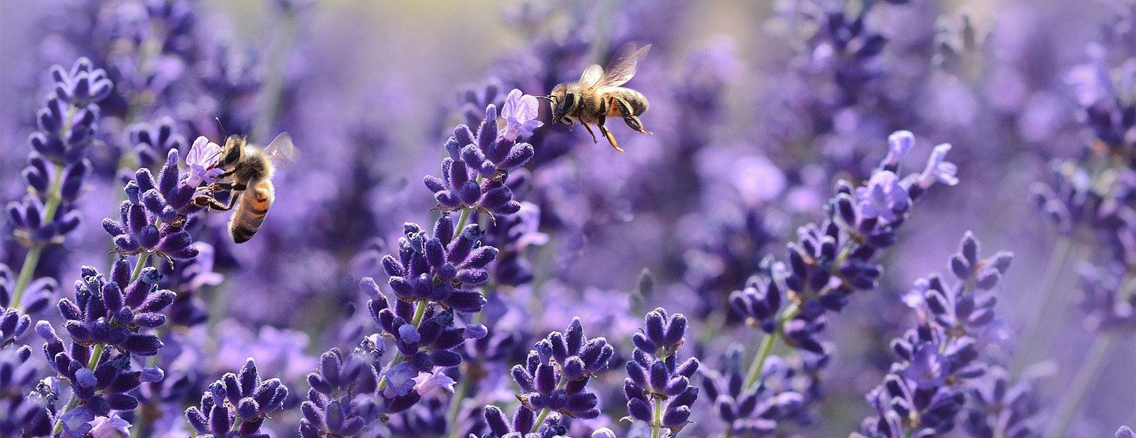 Zwei Bienen bestäuben Lavendelblüten
